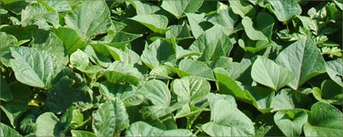 シモン芋の葉